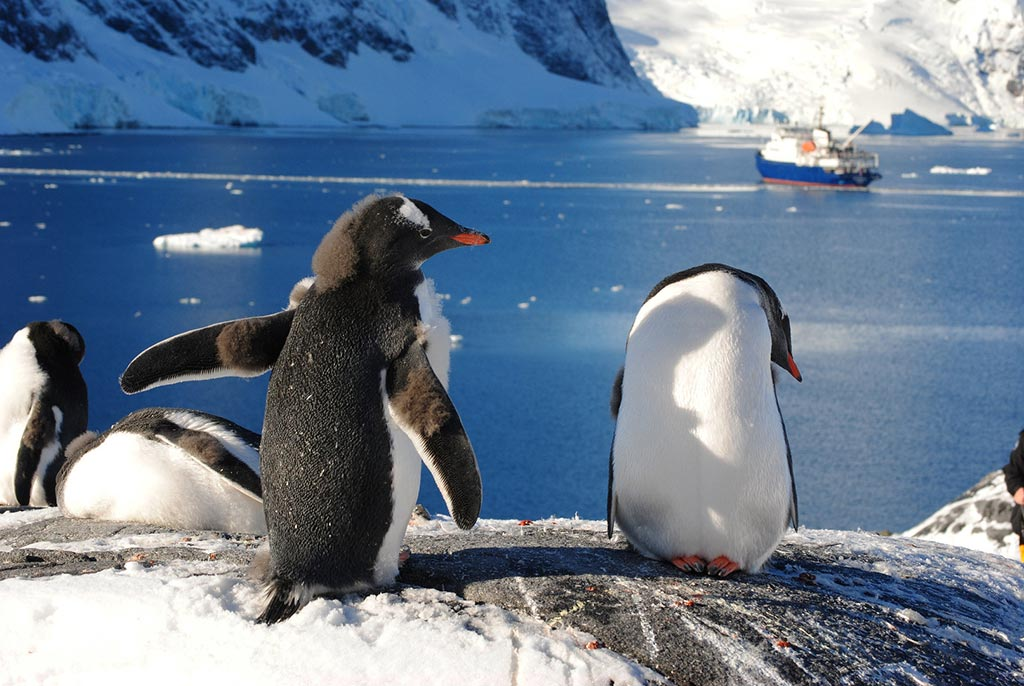 HDS13-Gentoo-penguins-at-Paradise-Bay_Ralf-Plechinger