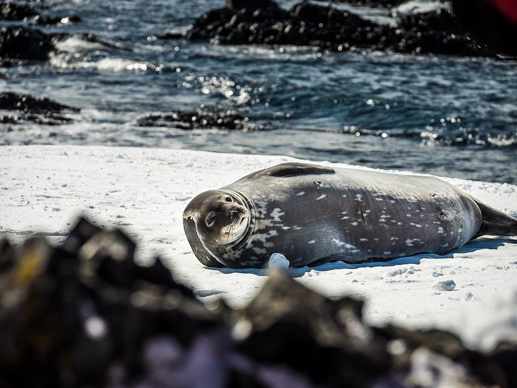 PLA13-Antarctica,-Weddell-Seal-©-Dietmar-Denger-Oceanwide-Expeditions_Dietmar-Denger